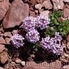 Noccaea rotundifolia [Thlaspi rotundifolium]