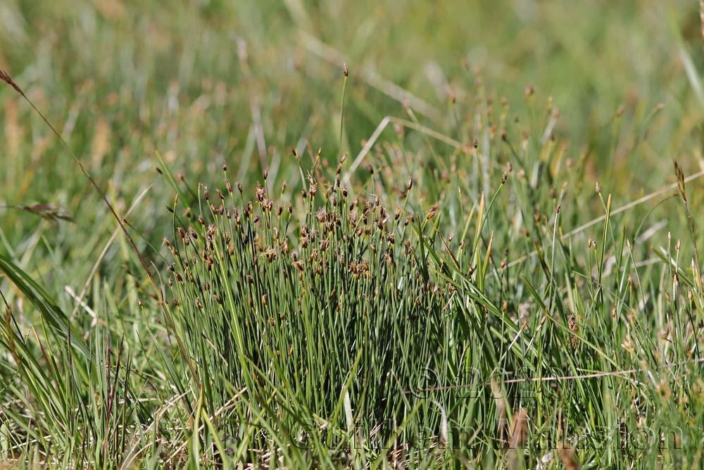 Trichophorum caespitosum
