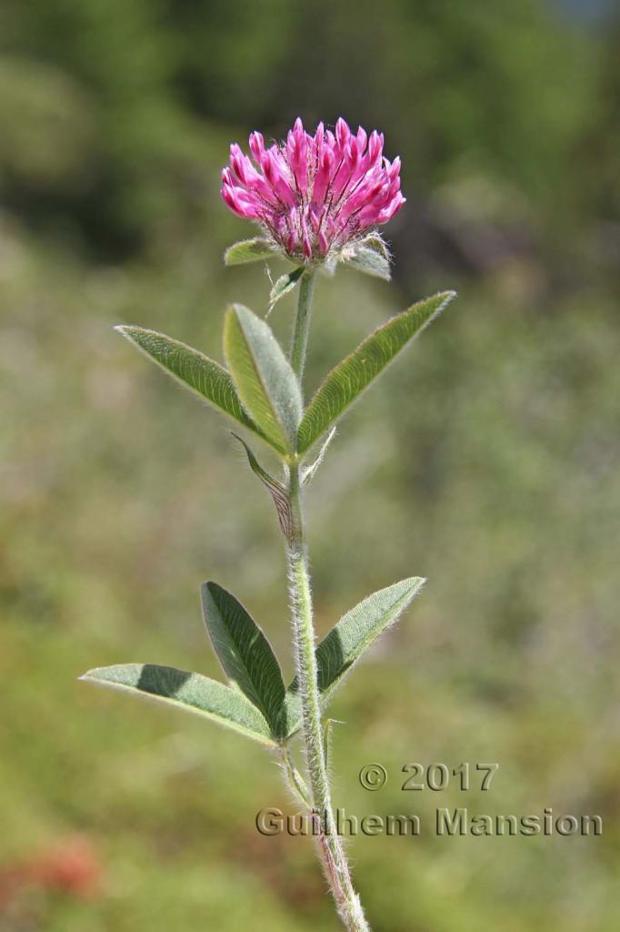 Trifolium alpestre