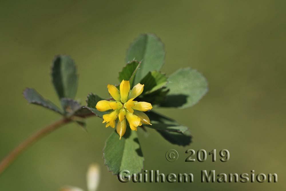 Trifolium dubium