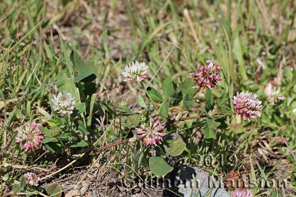 Trifolium hybridum var. elegans