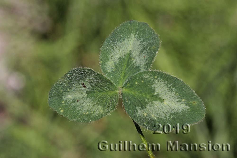 Trifolium pratense subsp. nivale