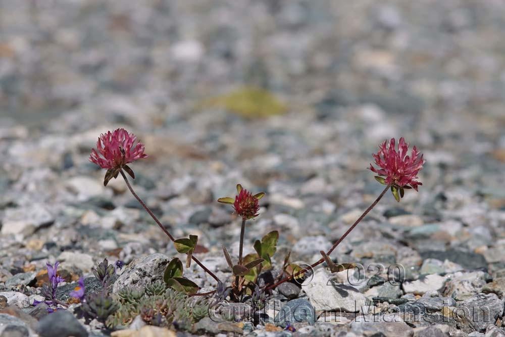 Trifolium pratense subsp. nivalis