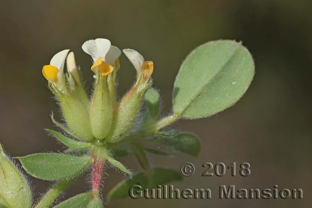 Tripodion tetraphyllum