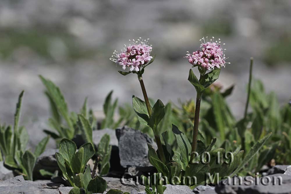 Valeriana montana