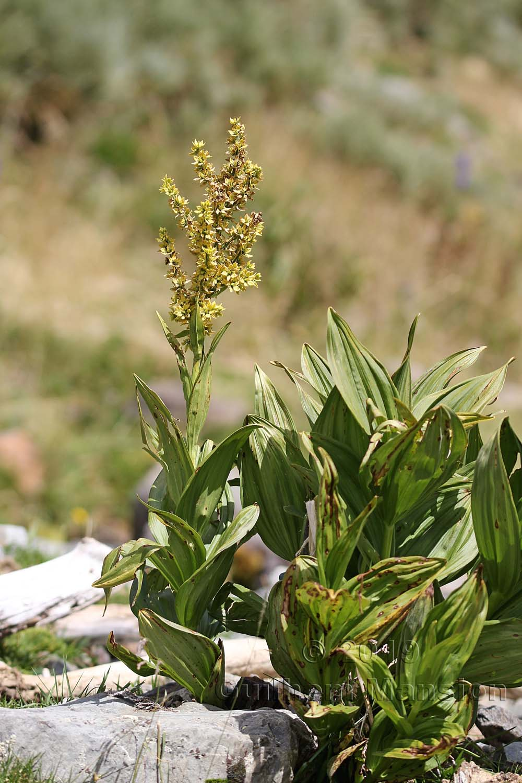 Veratrum album subsp. lobelianum