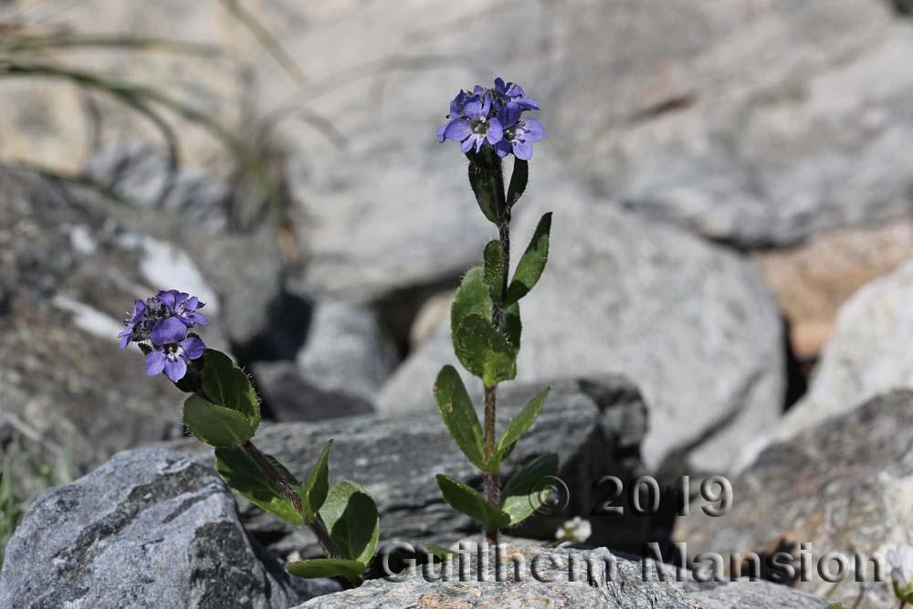 Veronica alpina