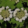 Famille - Adoxaceae
