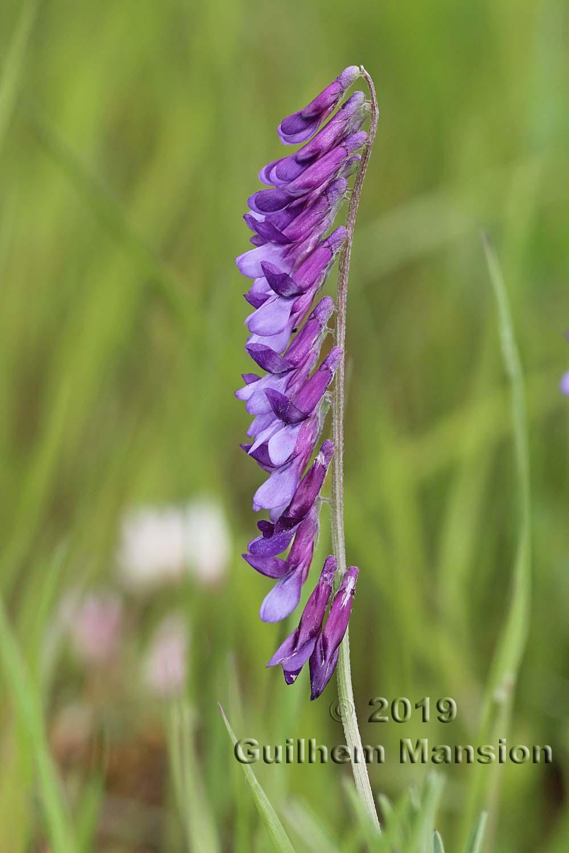 Vicia eriocarpa