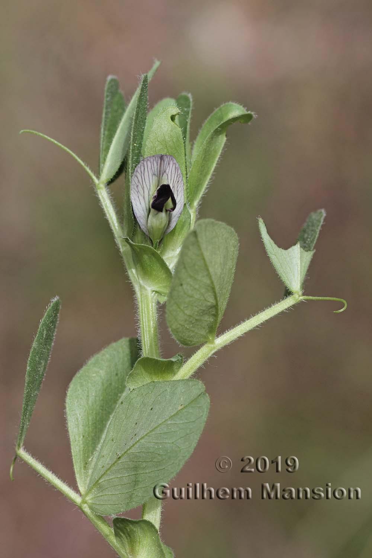 Vicia narbonensis