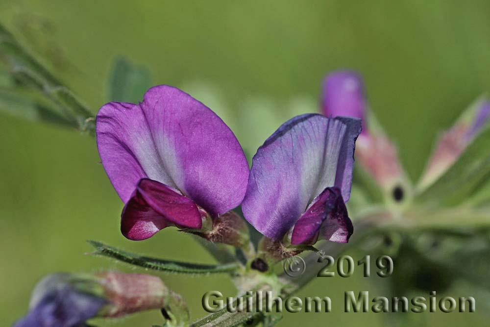 Vicia sativa subsp. sativa