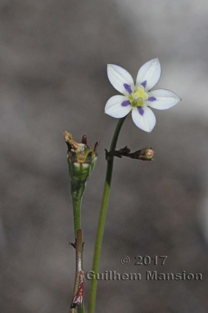 Walhenbergia capensis