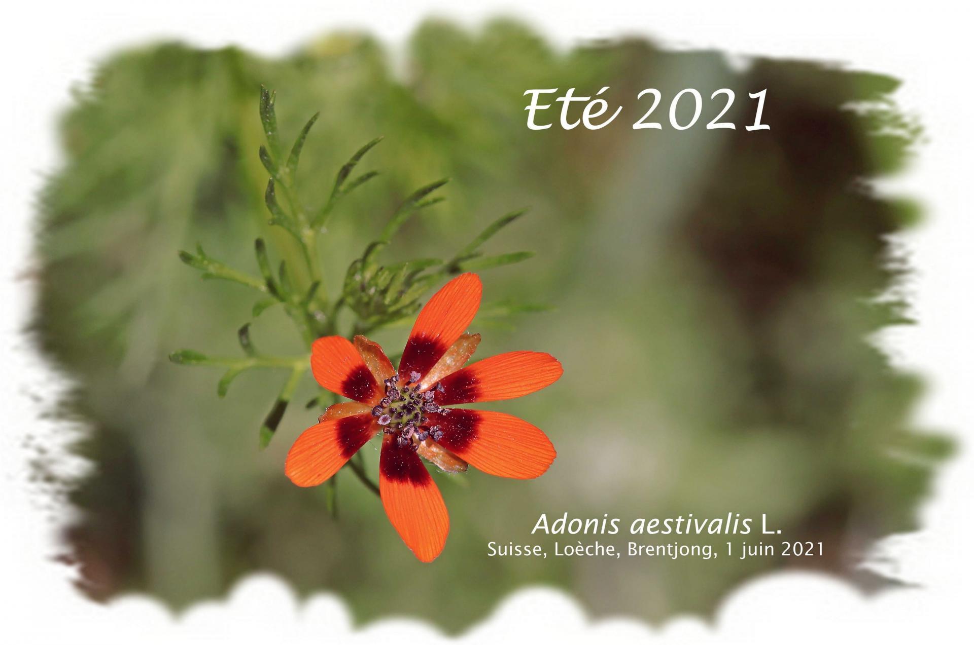 Adonis f 2021