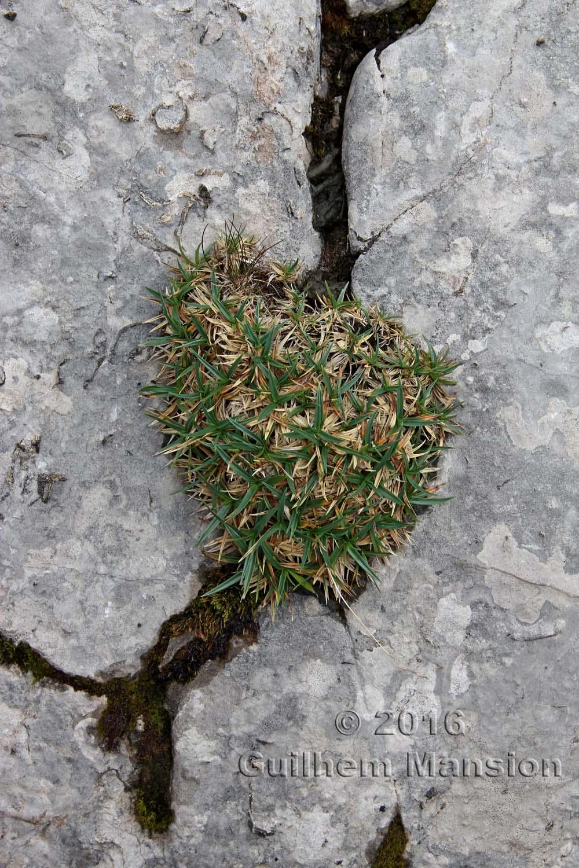 Carex firma