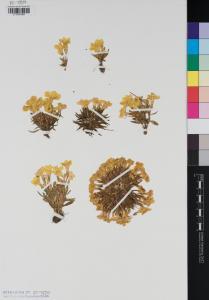 Sebaea welwitschii